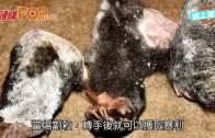 (粵)四川破最大瀕危動物庫  檢2噸黑熊穿山甲屍體