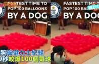 (粵)狗狗破健力士紀錄  39秒咬爆100個氣球