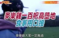 (粵)麥樂雞一百尺高墮 地 食家用口接