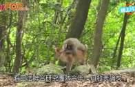 (粵)日本馬騮仔情迷鹿女  搞完一個又一個
