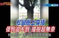 (粵)松鼠樹上穿插 傻狗追不到 撞樹超無奈