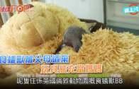 食蟻獸被父母遺棄  玩具熊充當媽媽