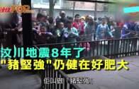(粵)汶川地震8年了 ˝豬堅強˝仍健在好肥大