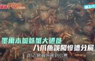 (粵)墨爾本蜘蛛蟹大遷徙 八爪魚誤闖慘遭分屍