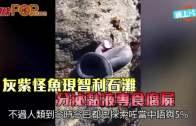 (粵)灰紫怪魚現智利石灘 分泌黏液專食腐屍