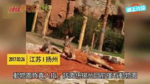 (粵)揚州男為影動態照  向袋鼠丟石˝難得來一趟˝