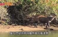 (粵)南非獵人遭鱷魚攻擊 破肚驚見人體殘肢