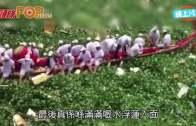 (粵)內地˝龍舟障礙賽˝  亂入水浮蓮池卡住了