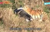 (粵)逃票$105翻牆入動物園 長沙3兄妹與7虎面對面