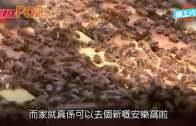 3萬蜜蜂驚現紐約時代 要用吸塵機吸走嚇居民