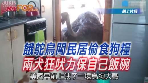 (粵)餓鴕鳥闖民居偷食狗糧  兩犬狂吠力保自己飯碗