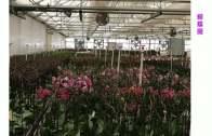 臺灣蘭花在加州