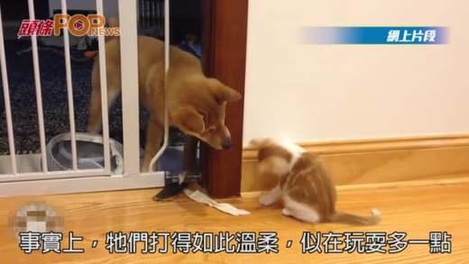 隔著圍欄「交戰」 貓貓兜巴星柴犬