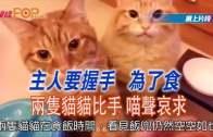 主人要握手 為了食  兩隻貓貓比手喵聲哀求