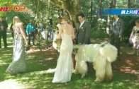伴郎伴娘不是人 羊駝殺入婚禮勁搶鏡