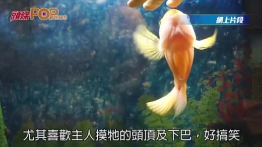 密蘇里州血鸚鵡魚愛撒嬌 享受主人撫摸