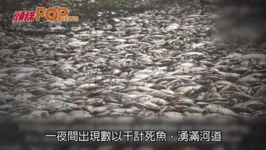 一夜間魚屍湧滿河  網民擔心是否凶兆