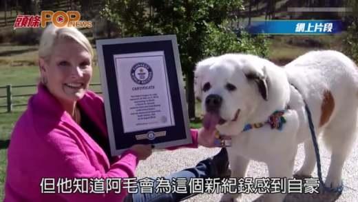 美聖伯納狗舌頭7.3吋 全球最長