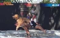 超強主人背金毛犬做運動