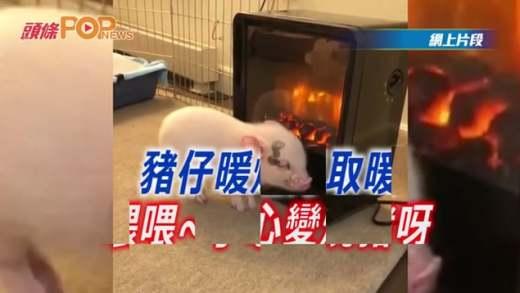 豬仔暖爐旁取暖 喂喂~小心變燒豬呀