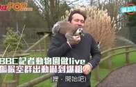 BBC記者動物園做live  狐猴空群出動嚇到爆粗