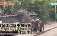 野豬王垃圾車搵食物  小野豬群乖乖在旁等