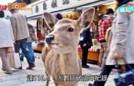 奈良鹿咬人個案創新高  6成被咬遊客來自中國