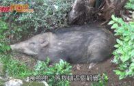 野豬香港仔覓食 飽餐後匿花園大覺瞓