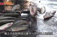 運魚車青嶼幹線翻側 大批淡水魚拋飛地上