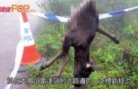小牛疑遭殘酷虐殺  屍體掛在大帽山標距柱
