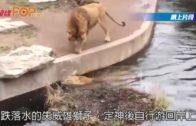 威猛雄獅轉身跌落水池 面懵懵游回岸上
