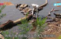 主人棄混種狗綁河中木頭 可憐狗拼命抬頭免淹死