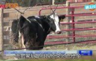 美國母牛送屠場跳車逃生 獲救2日即誕牛B