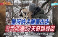 聖班納犬離家出走 冰天雪地流浪17天奇蹟尋回