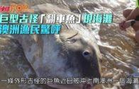 巨型古怪「翻車魚」現海灘 澳洲漁民驚呼