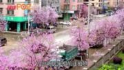 柳州27萬株洋紫荊盛放  大媽吊車影花海空中瑜伽