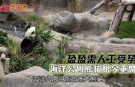 盈盈需人工受孕 海洋公園熊貓館今重開