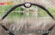白頭鷹低飛點水照瘋傳  獲讚「沙龍中的沙龍」