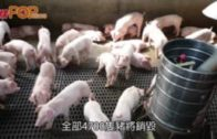 上水屠房再現疫情  關閉消毒4日銷毀4700隻豬
