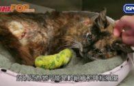 英9月大貓遭火燒兼性虐  全身傷口爬滿蛆蟲