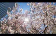 花都開好了-希望在路上-疫情下舊金山的春天