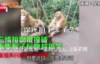 忘情接吻被撞破  兩隻猴子反應超搞笑
