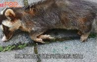 世衛專家鎖定 鼬獾兔子為新冠可能源頭